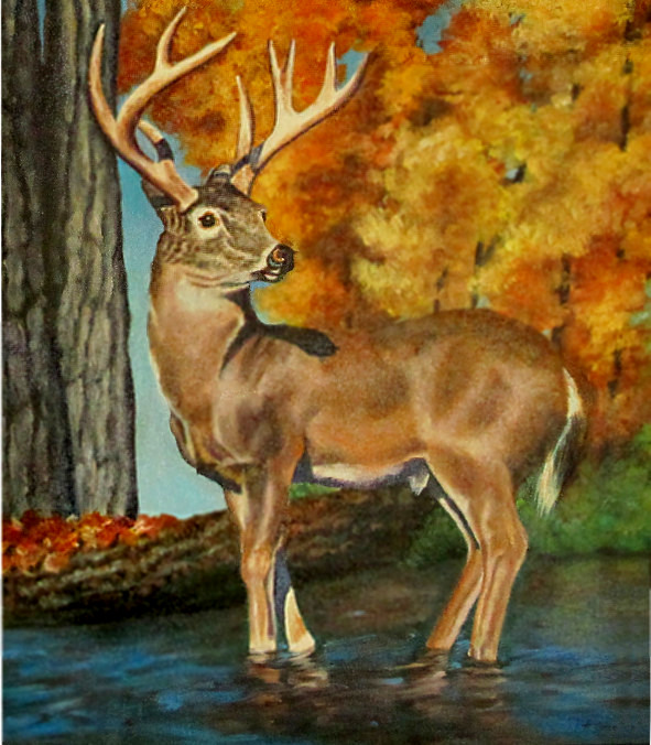 artist oil painting whitetail
